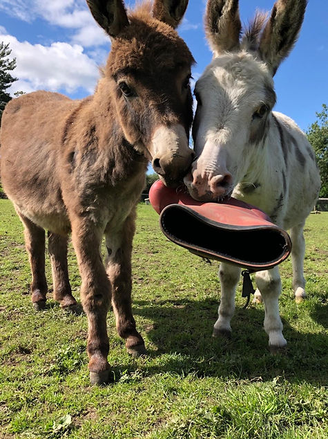 mini donkeys ians farm.jpg