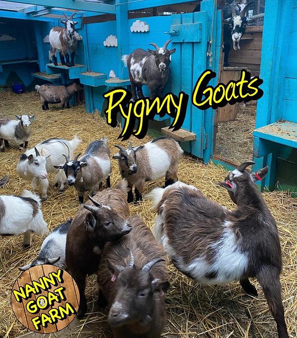 pygmy goats.jpg