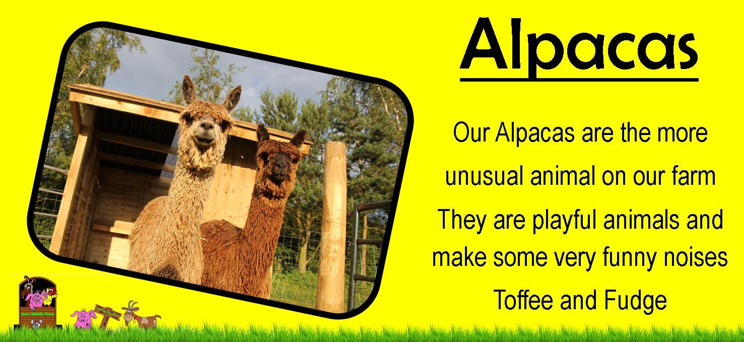 Our Alpacas are the more unusual animal on our petting farm,ians mobile farm love their alpacas, www
