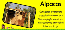 Our Alpacas are the more unusual animal on our petting farm,ians mobile farm love their alpacas, www