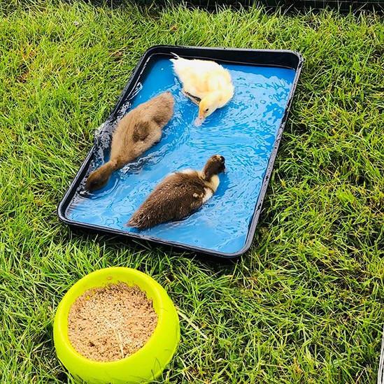 3 cute ducklings enjoying their visit at