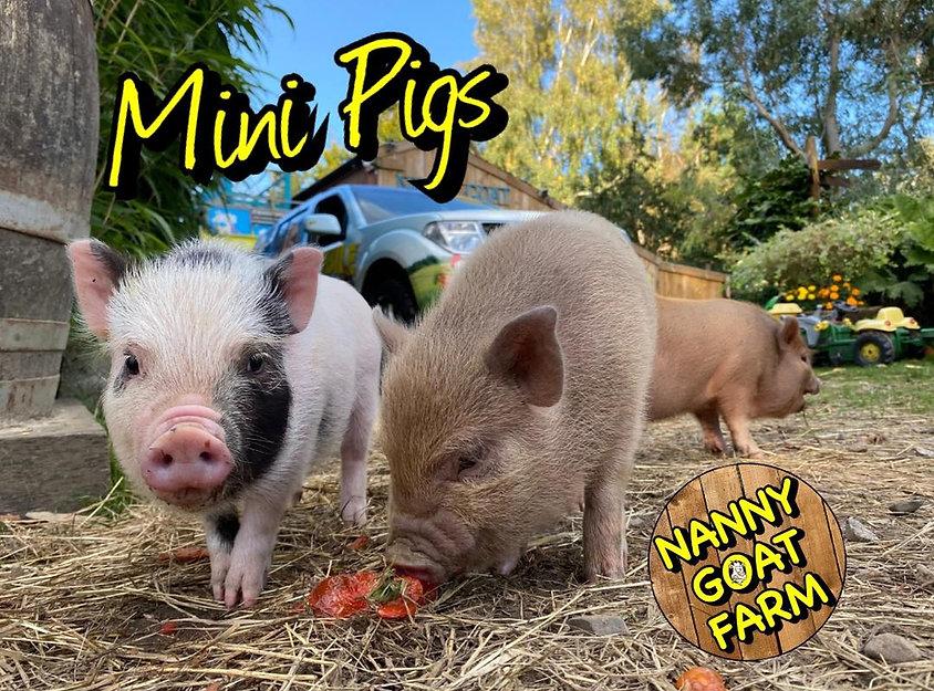 mini pigs.jpg