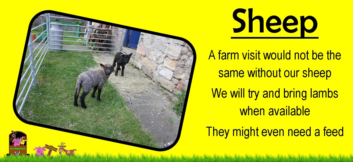 Ians farm sheep, Ians mobile farm.com we love our sheep on our petting farm yorkshire, they love to
