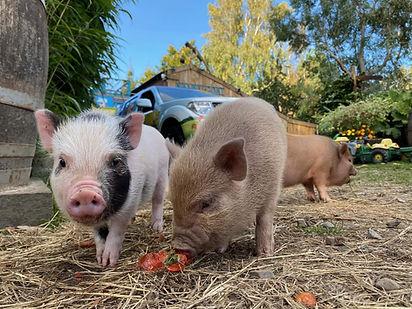 ians farm piglets.jpg