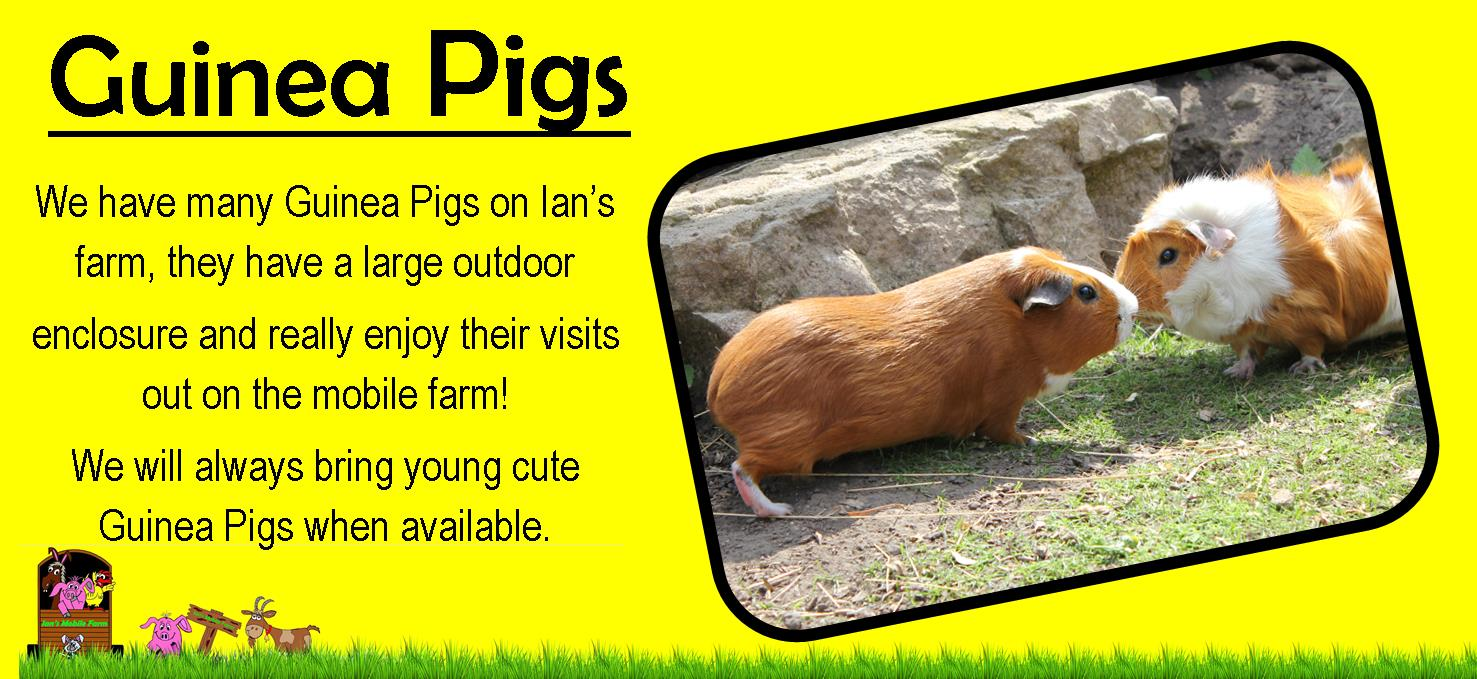 We_have_many_Guinea_Pigs_on_Ian's_farm,_they_have_a_large_outdoor_enclosure,_we_will_always_bring_yo