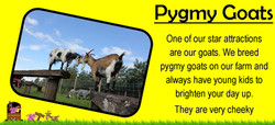 One of our star attractions are our goats. We breed  pygmy goats on our farm and always have young k