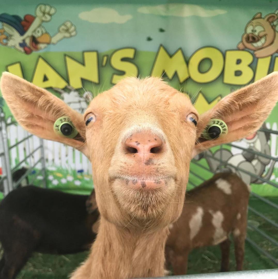 ians mobile farm golden guernsey.jpg