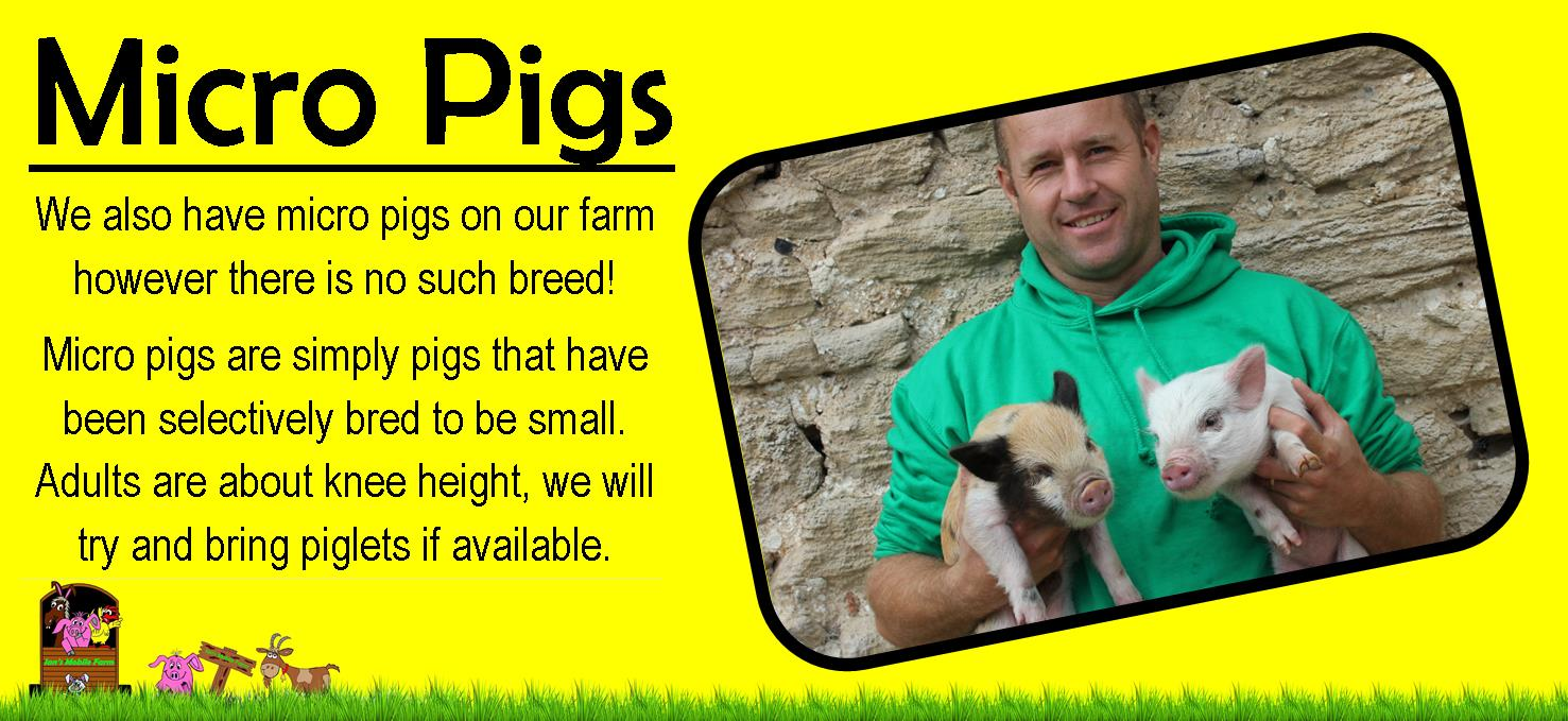 We also have micro pigs on our farm however there is no such breed! www.iansmobilefarm.co.uk mobile