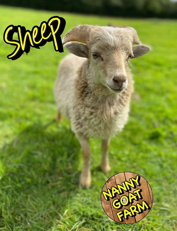 ouessant sheep.jpg
