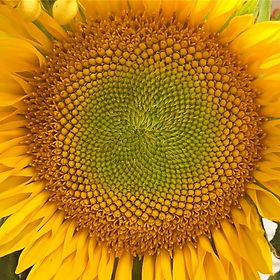 I have a serious obsession with sunflowers 🌻...jpg