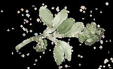 Seeded-Eucalyptus.png
