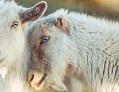 sheep-2592305_1920.jpg