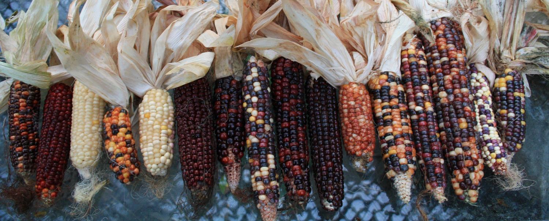 Maïs diversifiés