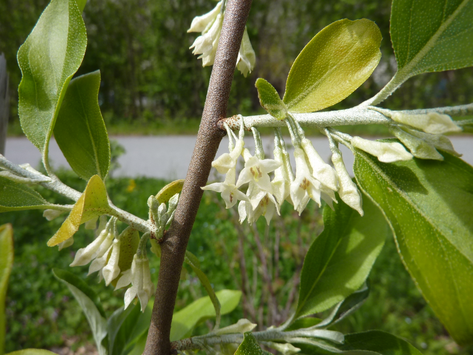 Elaeagnus umbellata en fleurs