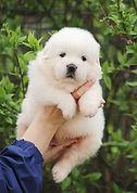 щенок польская подгалянская овчарка