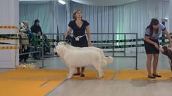 Польская подгалянская овчарка.