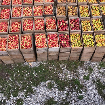 Western apples in crates.jpg