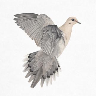 Veronica_Park_Illustration_Mourning_Dove