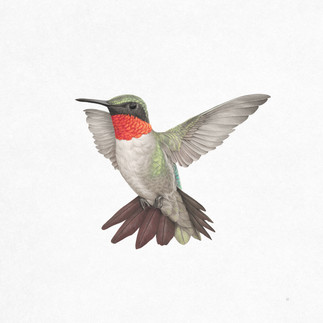 Veronica_Park_Illustration_Ruby_Throated