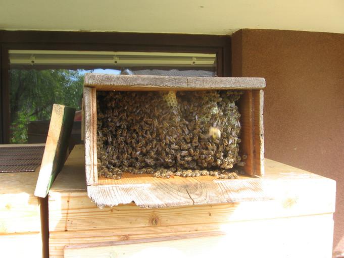 Čebele, divja gradnja, kranjič