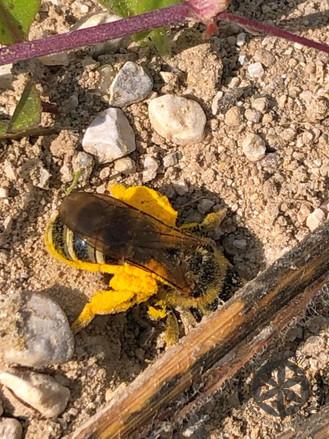 Čebela samotarka