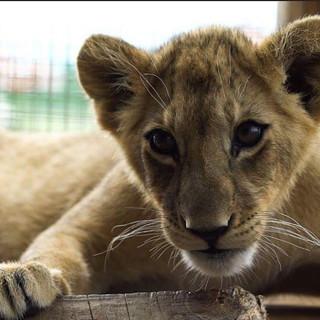 #lion #lionking #littlelion #animals #na