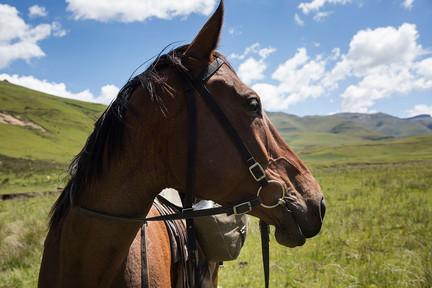 side profile of lesotho horse