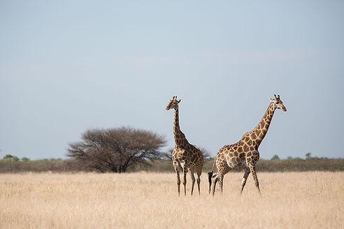 kalahari-botswana-giraffe-savannah.jpg