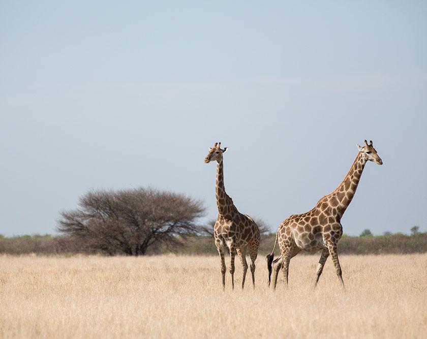 giraffe in savannah in Central Kalahari Game Reserve