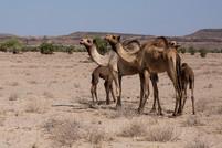 camel livestock in rural Kenya