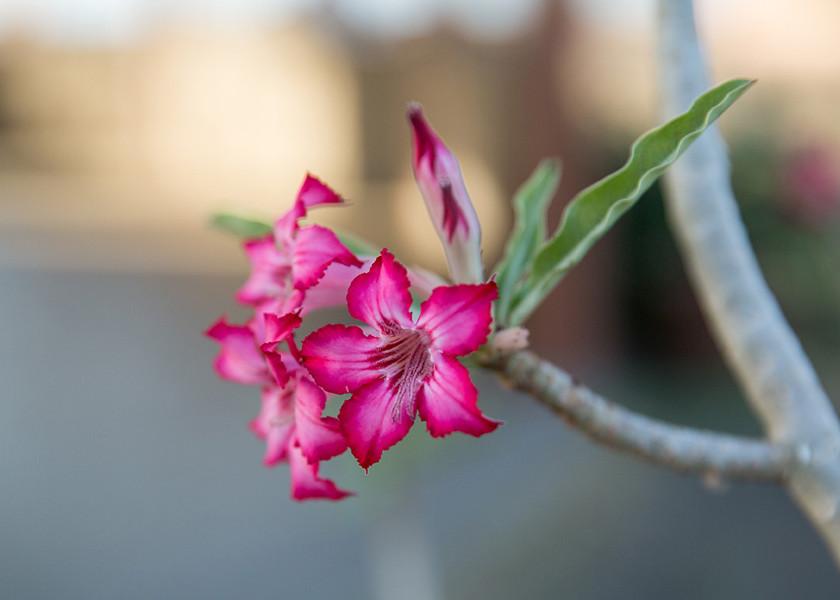 desert rose flower in kenya