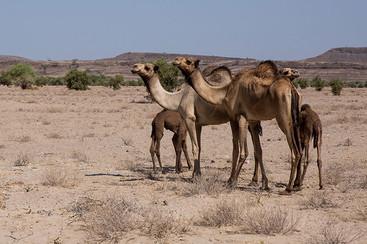 camels-turkana-desert-kenya.jpg