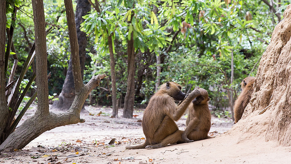 Baboon at the Makasutu Culture Forest