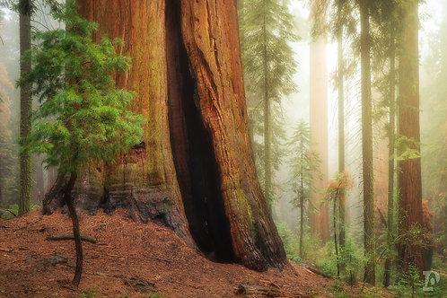 Sequoia Mist