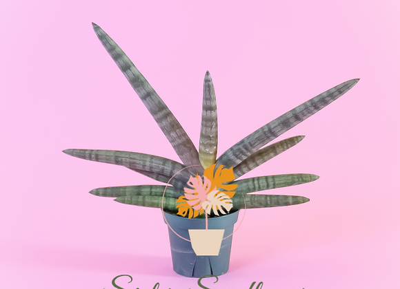 Starfish Snake Plant