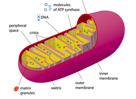 Mitochondrial Health