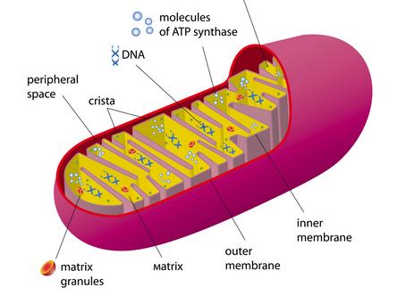 Mitochondrial Health