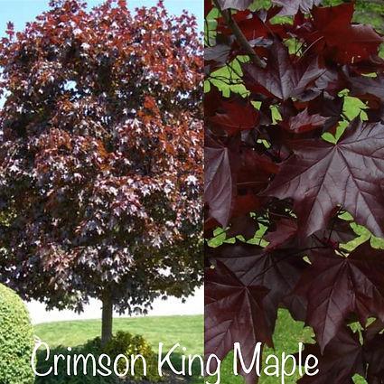 Crimson King Maple.JPG