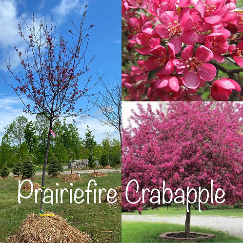 Prairiefire Crabapple.JPG