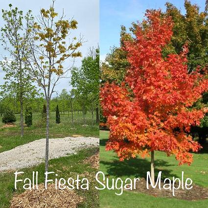 Fall Fiesta Sugar Maple.JPG