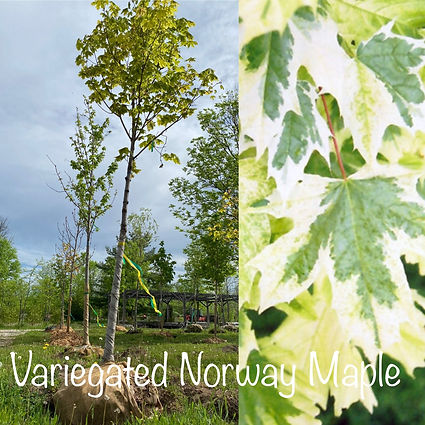 Variegated Norway Maple.JPG