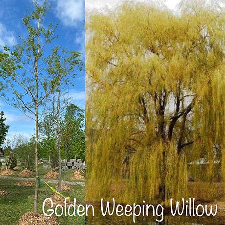 Golden Weeping Willow.JPG