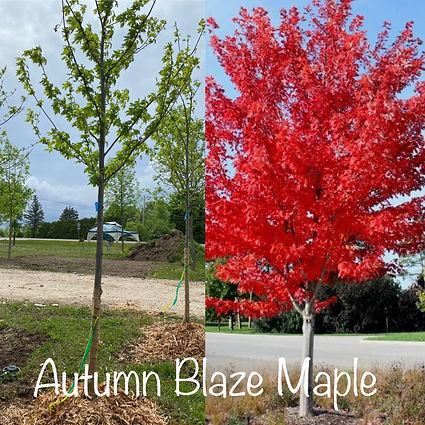Autumn Blaze Maple.JPG