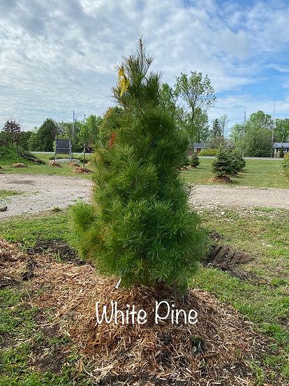 White Pine.jpeg