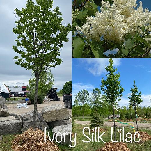 Ivory Silk Lilac.JPG