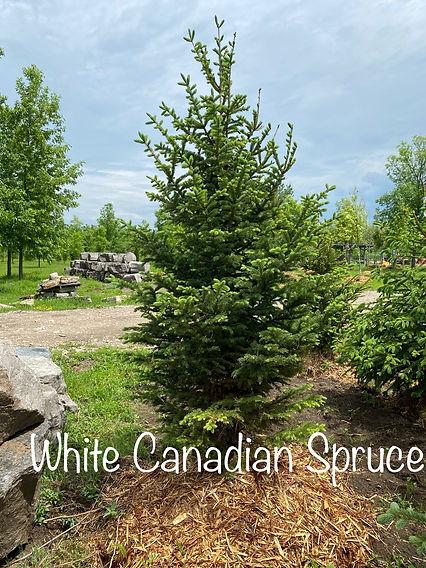 White Canadian Spruce.jpeg