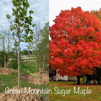 Green Mountain Sugar Maple.JPG