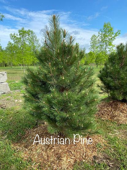 Austrian Pine.jpeg
