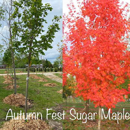 Autumn Fest Sugar Maple.JPG