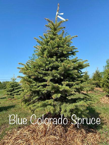 Blue Colorado Spruce.jpeg